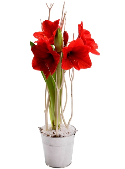 Plantes fleurs de no l amaryllis de no l livraison en 4h for Fleurs amaryllis bouquet