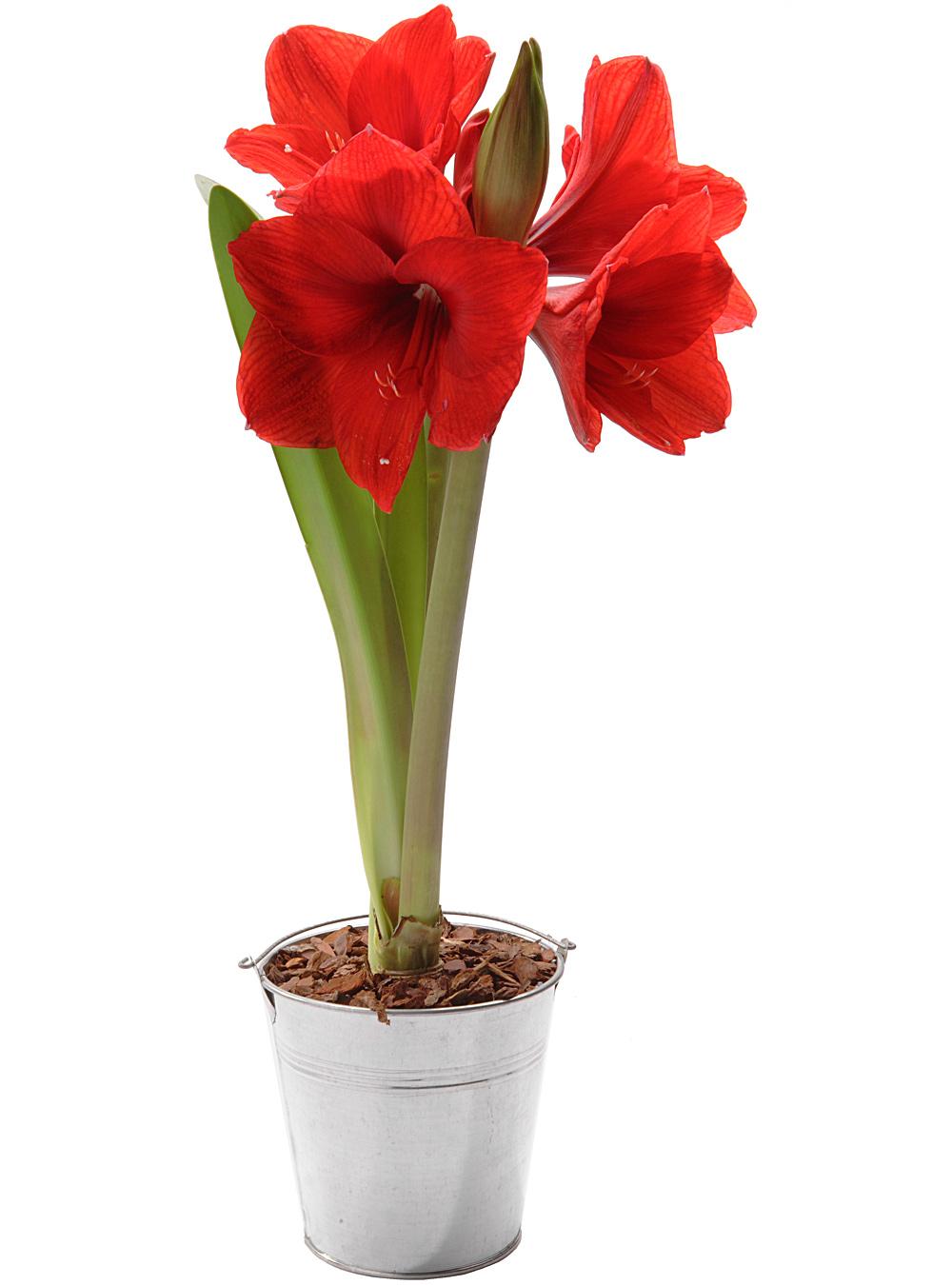 Livraison de fleurs en 4h les plantes fleurs amaryllis for Acheter amaryllis