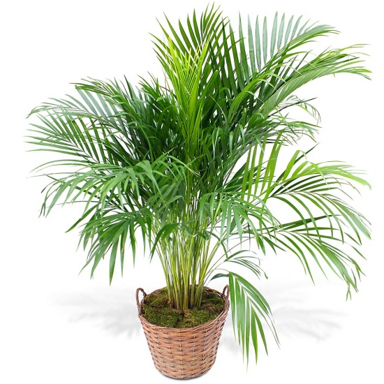 Commandez un Areca en pot