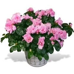Les fleurs deuil Azalée en fleurs - 123fleurs