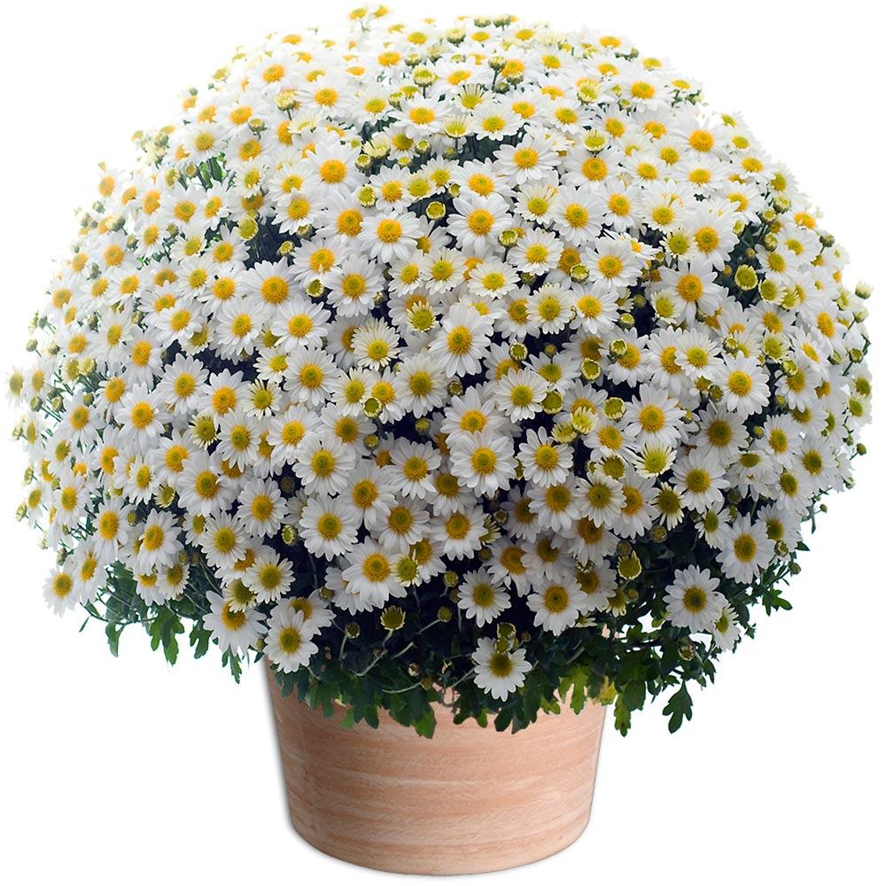 par occasions fleurs toussaint chrysanth me pomponette blanc. Black Bedroom Furniture Sets. Home Design Ideas