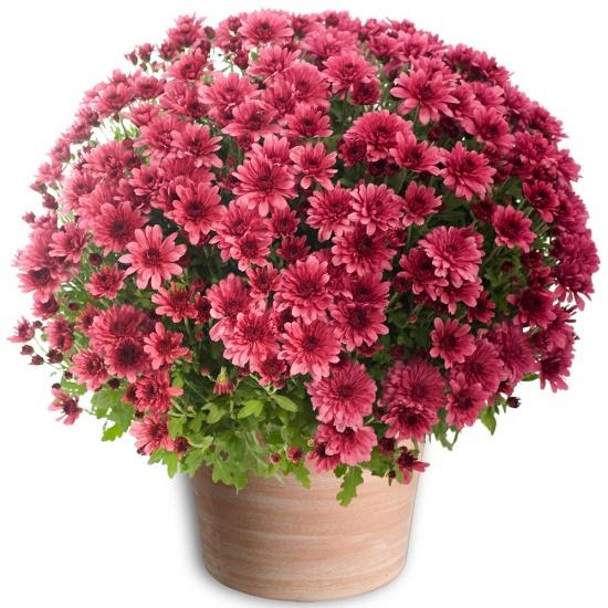 Fleurs Toussaint Chrysanthème pomponette mauve