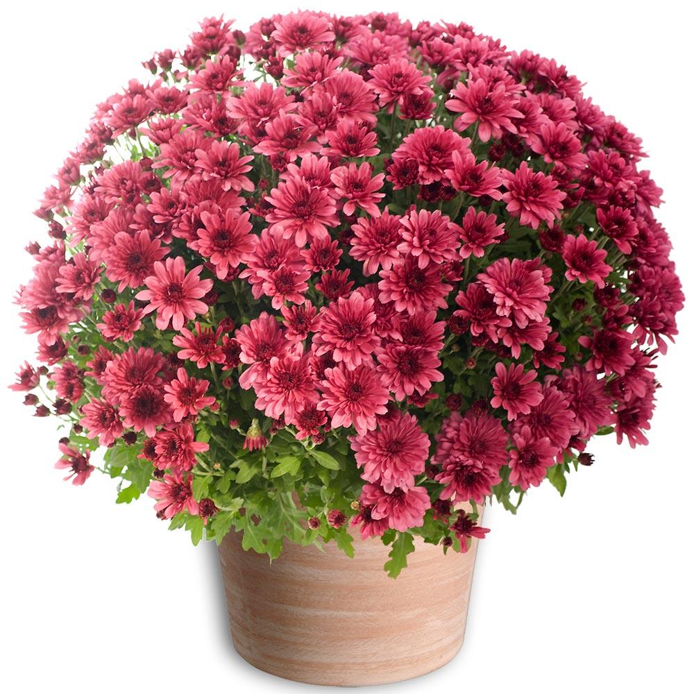 Par occasions fleurs toussaint chrysanth me pomponette mauve for Fleurs livrees