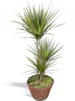 Plante verte dépolluante Dracaena en pot - 123fleurs