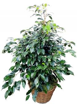 Plante verte dépolluante Ficus en pot - 123fleurs