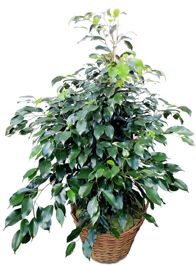 Plante verte d polluante ficus en pot livraison en 4h for Plante verte jardin