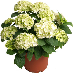 Hortensia à replanter