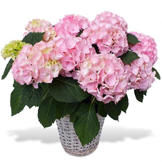 Hortensia en fleurs - Taille des hortensias fleurs ...