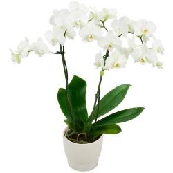 Orchidées du fleuriste Orchidée à fleurs Blanche - 123fleurs