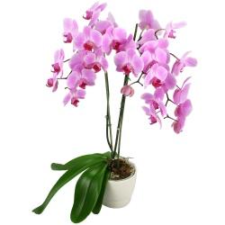 Orchidée à fleurs Fuchsia - 123fleurs