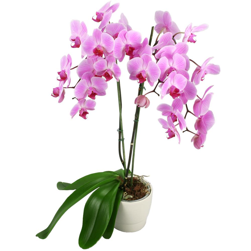 Orchid es du fleuriste orchid e fleurs fuchsia for Livraison de fleurs