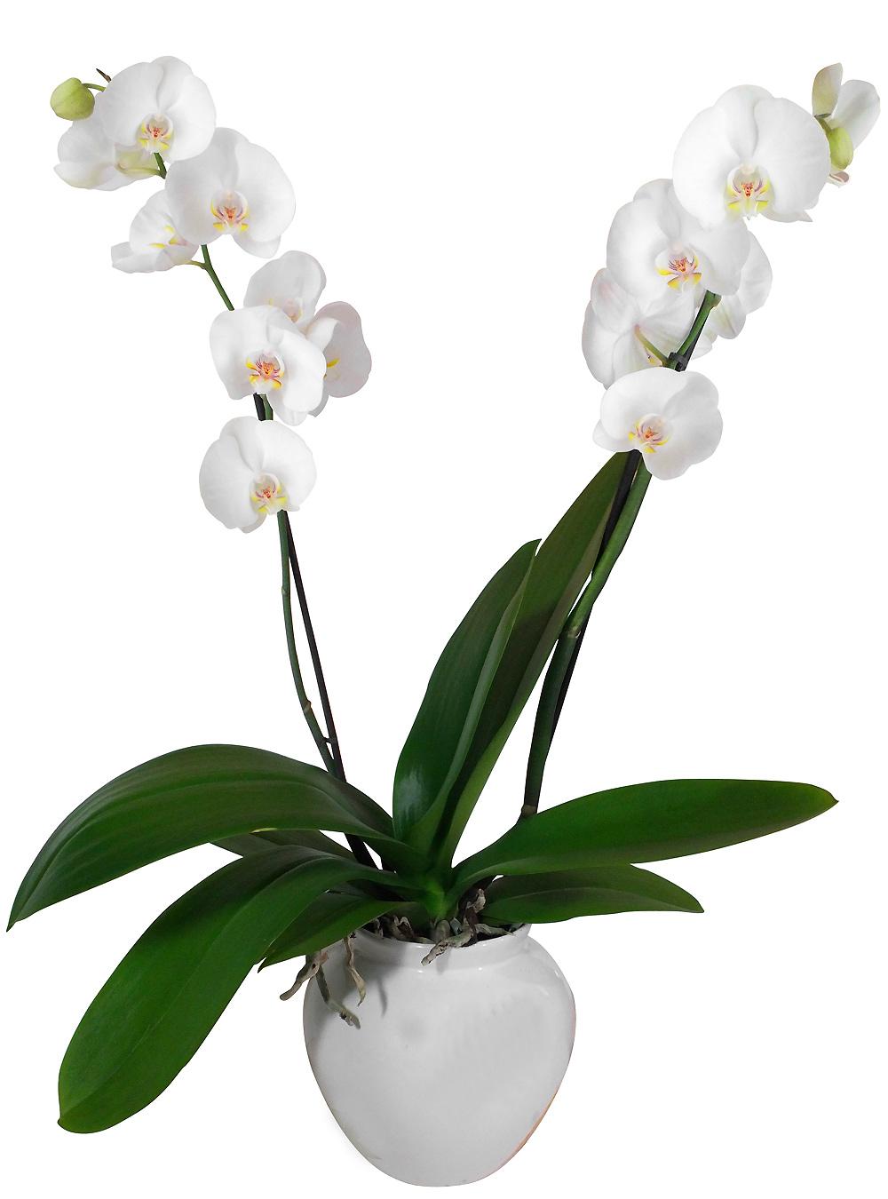 Orchidee Blanche Entretien Vap Vap