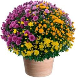 Chrysanthème pomponette multicolore