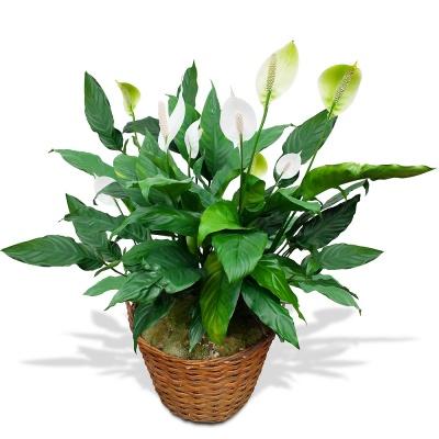 Plantes vertes et fleuries spatiphyllum en fleurs for Vente plantes vertes